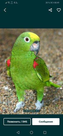 Амазон суринамский