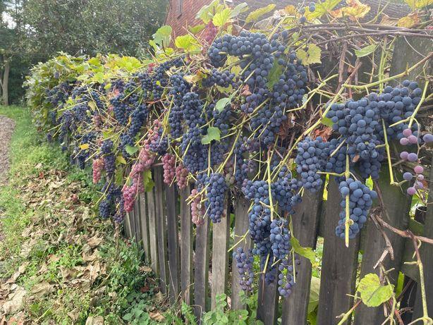 Slodkie winogrono na sprzedaz