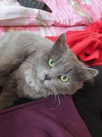 Метис шотландская прямоухая кошка