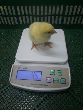 цыплята, курчата, бройлер, кобб500