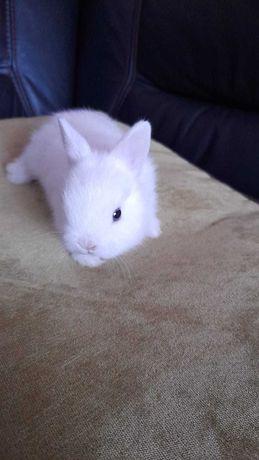 Sprzedam królika miniaturkę  hermerlin