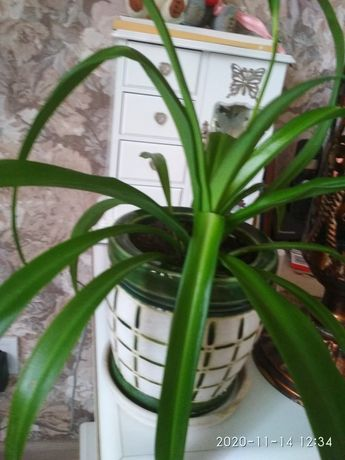 Хлорофітум кімнатна рослина