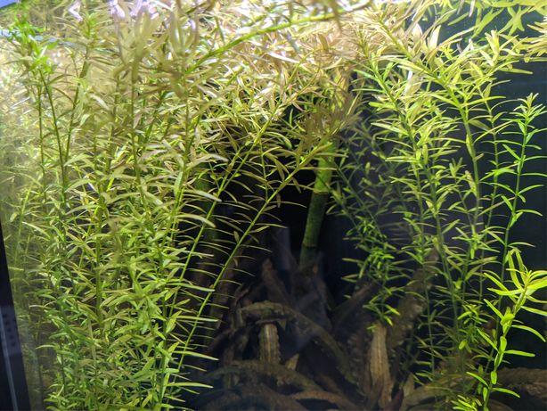 Rotala roślina akwariowa