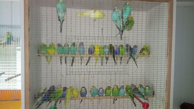 Продам молодёжь волнистых попугаев в подарок для детей и друзей