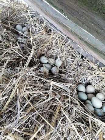 Яйця фазанів і цесарок