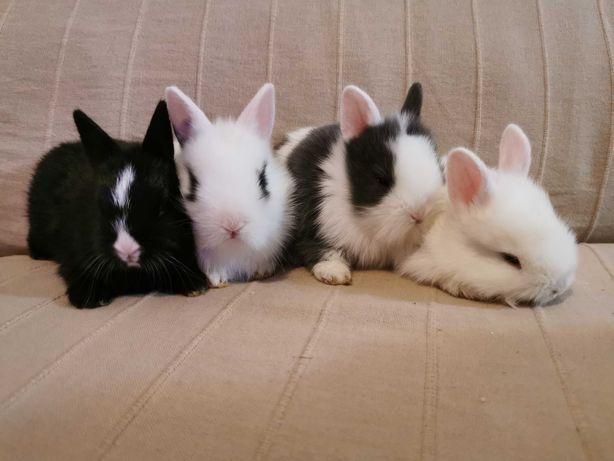 KIT completo coelhos anões super fofos
