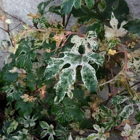 Пестролистные растения. Виноград вариегатный