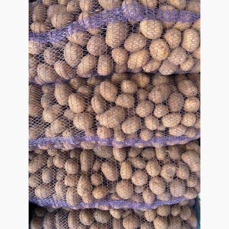 Картошка (картофель) урожая этого года