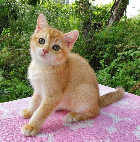 "Котик британская золотая шиншилла симпатичная мордашк""беби фейс"