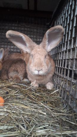 Samica królika zakocona.