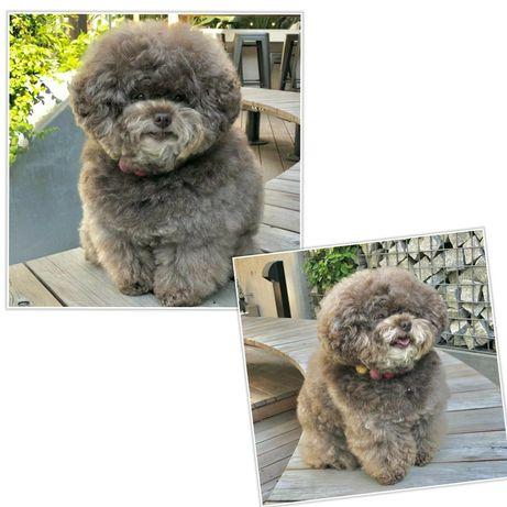 Эксклюзивные детки, мини, кукольные - teddy poodle!