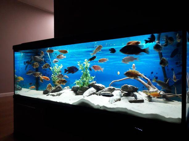 Akwarium 150x50x50 pyszczaki malawi