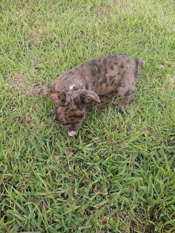 Cachorro Bulldog Francês Merle