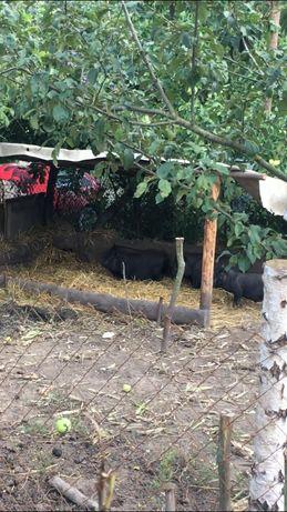 Свині вєтнамські вислобрюхі(еко продукт) Поросна льошка на продаж