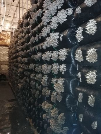 Зарощенный грибной блок ВЕШЕНКИ.