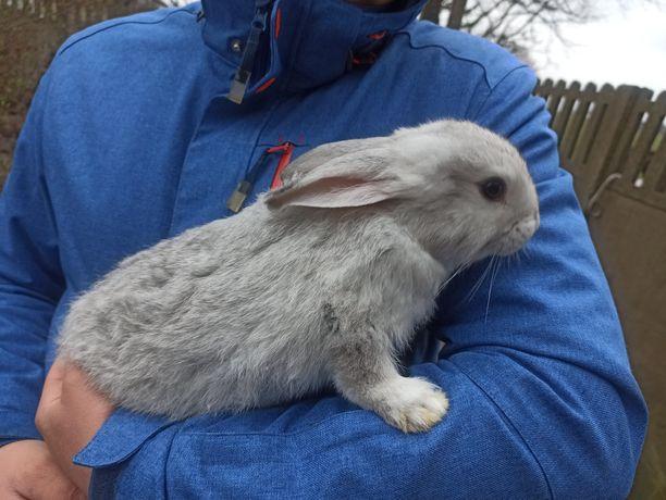 Sprzedam króliki samce 2 miesiące.