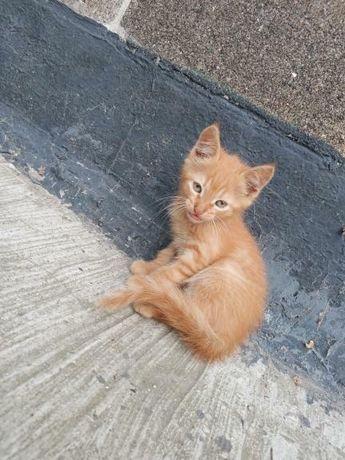 Отдам рыжего котёнка, мальчик ,2 месяца