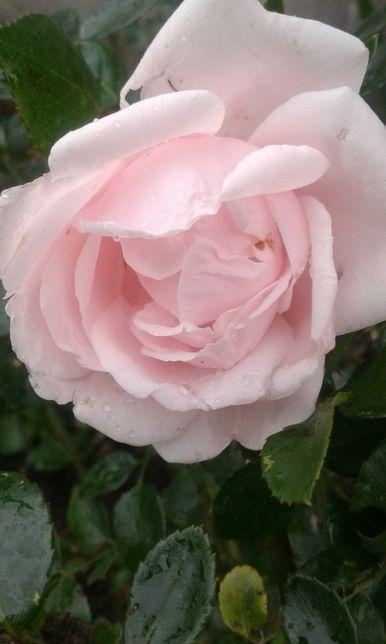 Кущ троянди