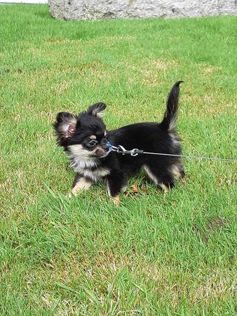 Chihuahua Miniatura Pêlo Comprido Criadora Registada PT 3088 FL