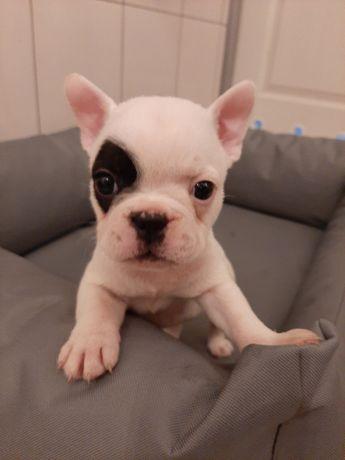 Pieski suczki buldog francuski pies sunia