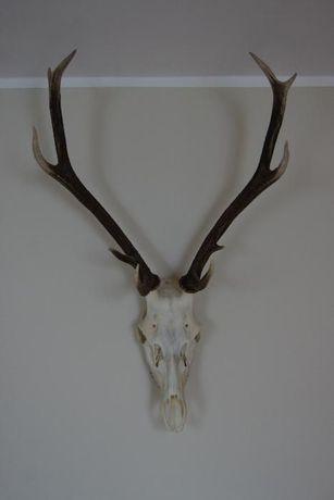 rogi jelenia
