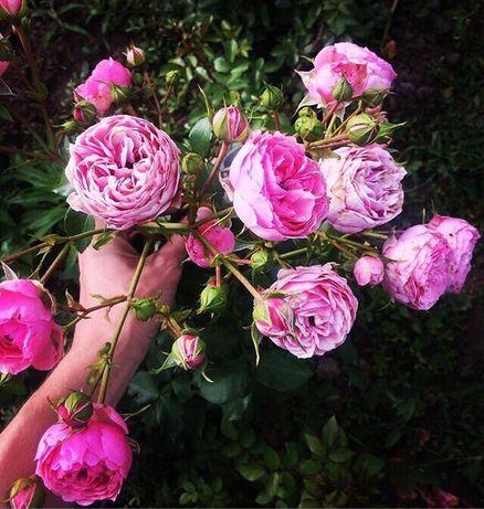 Саженцы деревьев и роз