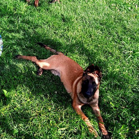 Продам щенков Бельгийской овчарки (Малінуа)