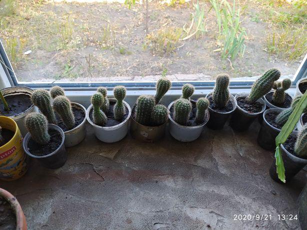 Продам кактусы не цветут