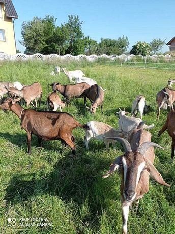Kozy na sprzedaż