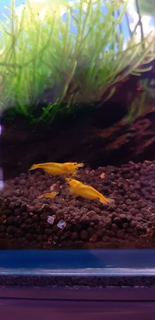 Krewetki cardina yellow king Kong żółte możliwość wysyłki