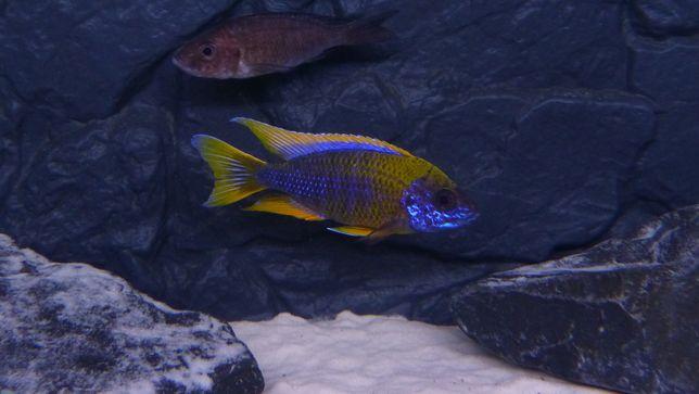 Aulonocara Lwanda Hai Reef