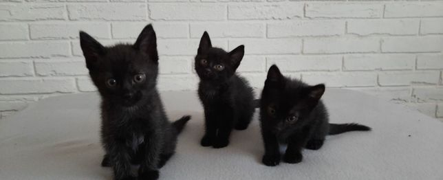 Три черных мальчика, котята в добрые руки