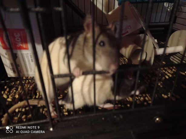 szczury, szczurki hodowlane