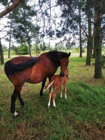 Робочий кінь (кобила) з лошам