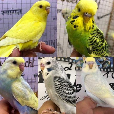 Волнистые попугаи, птенцы от 35 дней, питомник