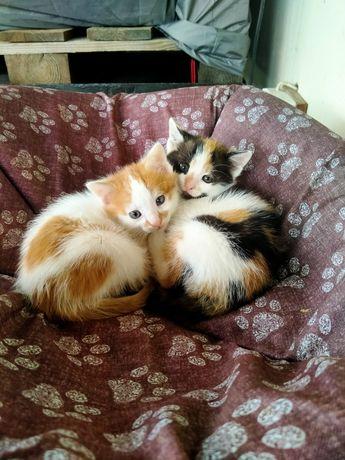 Oddam za darmo 2 urocze kotki, Borowa, Andrespol, Koluszki, Łódź