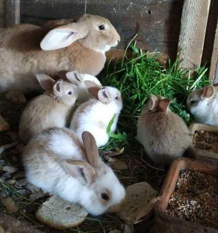 Młode króliki Olbrzym Srokacz Niemiecki Hawana Żółty