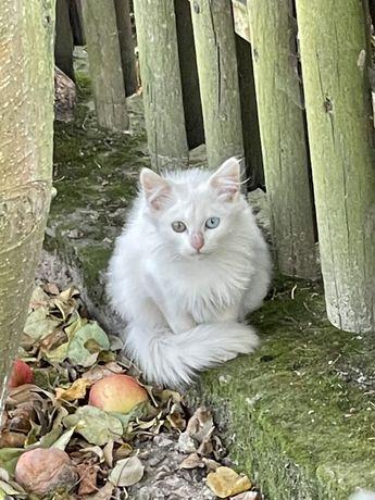 Котики в добрі руки 2 білих турецька ангора котик