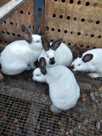 Продам кролів різних порід