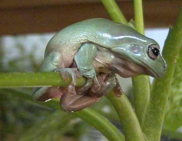 Маленькие ручные квакши. Австралийская квакша. Лягушка