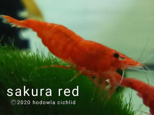 Neocaridiny Davidi (Heteropda) (Sakura Red)