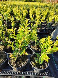 Eugênia Myrtifolia Newport 1L