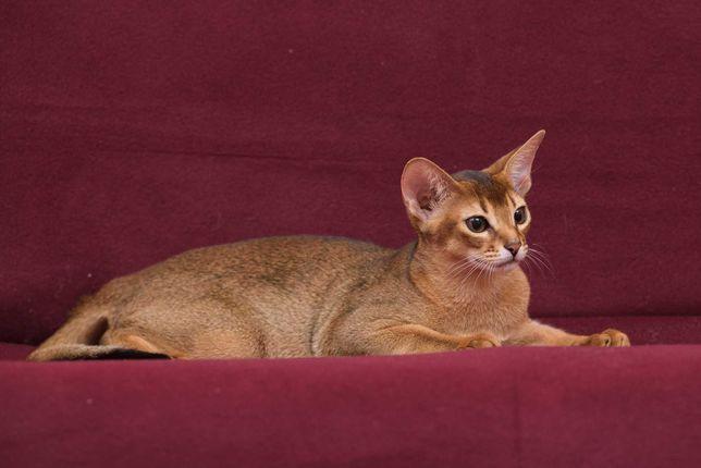 Абиссинский котенок - счастье в дом
