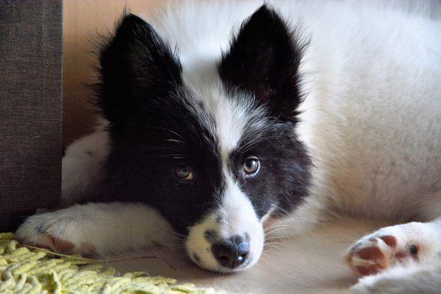 Lajka jakucka FCI/ZKwP yakutian laika puppies