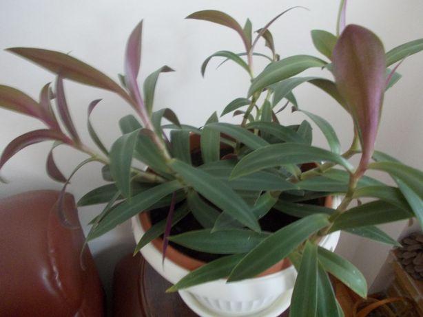 Kwiat doniczkowy rozpiętość 60 cm