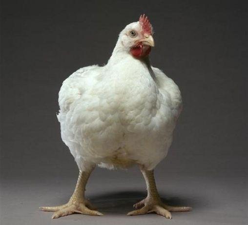 Лучшие Бройлеры, цыплята, комбикорм.