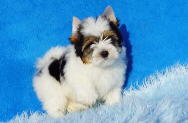 York Biewer Piesek z rodowodem York Yorki Yorkshire Terrier