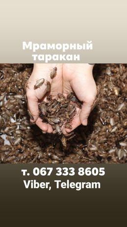 Тараканы  для агамы, стрижа, ежа, хамелеона,  паука и т.д.  300шт.