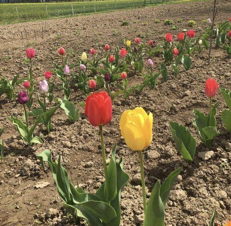 Cebulki tulipanów różnych kolorów