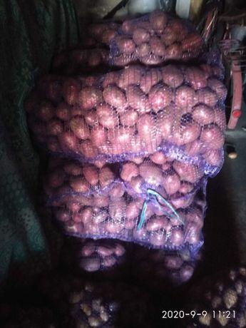 Продам большую картошку